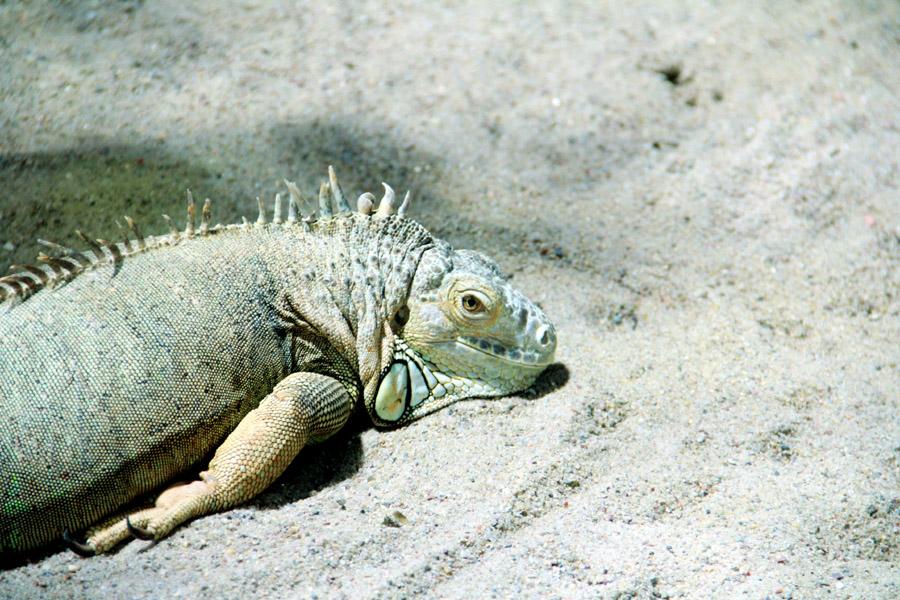 Iguana © Saimum Kabir